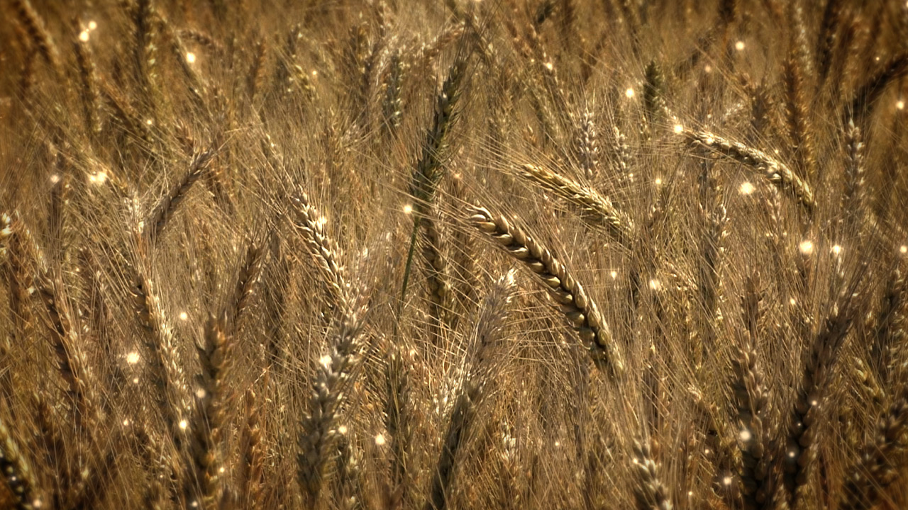 Harvest Wheat